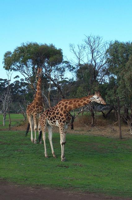 Giraffes at Werribee Zoo